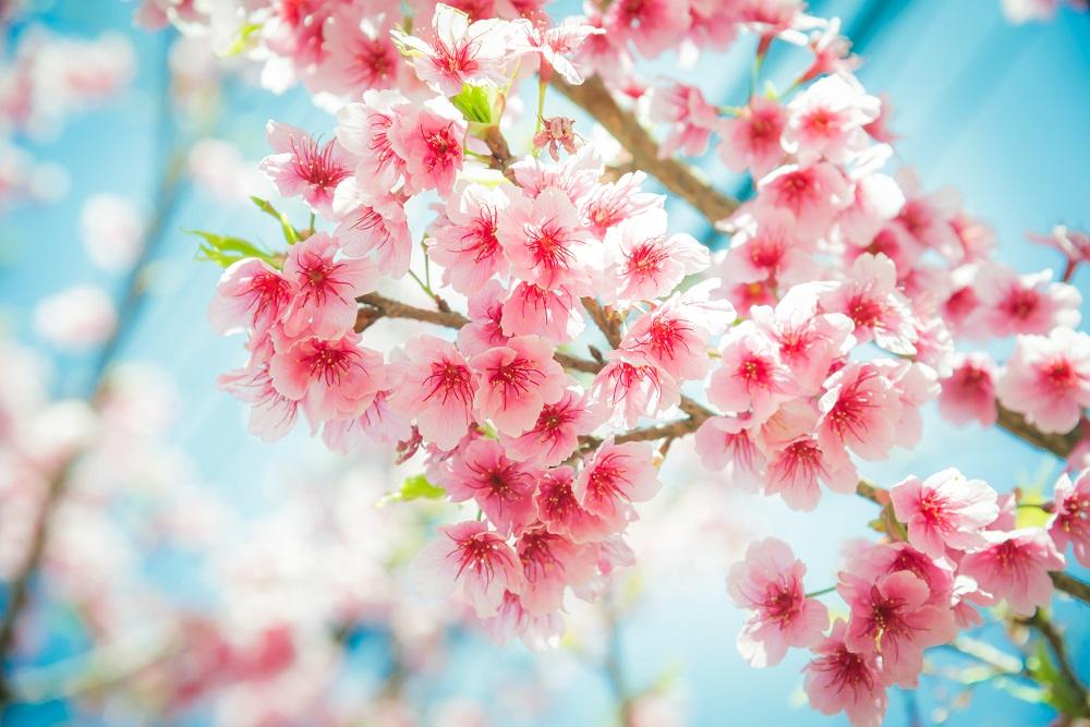 Floarea de cires, foto AppleZoomZoom